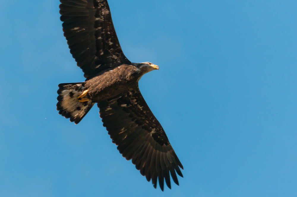 An immature bald eagle flies overhead near the Skagit River, Washington.  Younger eagles have drab plumage, and do not get the characterestic black and whit coloring until they are older.  Photo by William Byrne Drumm.