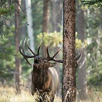 bull elk bugling in lodge pole pine forest