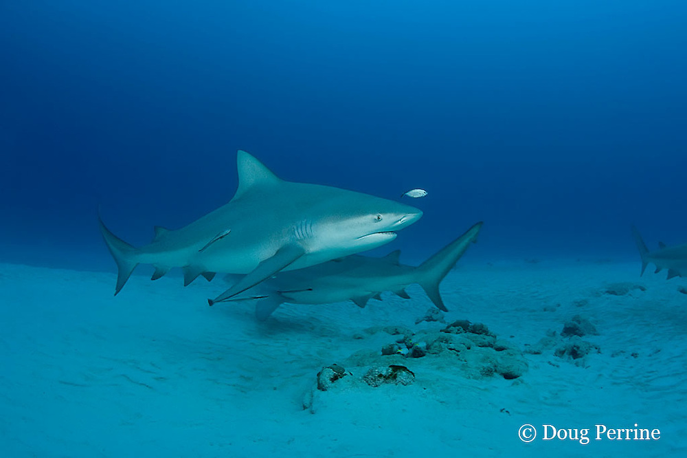 bull sharks, Carcharhinus leucas, female in seasonal breeding aggregation with remoras or sharksuckers, Echeneis naucrates, and juvenile bar jack, Caranx ruber, Playa del Carmen, Cancun, Quintana Roo, Yucatan Peninsula, Mexico ( Caribbean Sea )