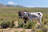 BURROS (Equus asinus) ENFLORADOS EN LA PUNA, PROV. DE JUJUY, ARGENTINA<br /> <br /> Asini con le orecchie adornate nella puna, Provincia di Jujuy, Argentina