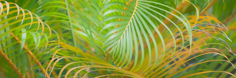 Designs of Areca palm fronds