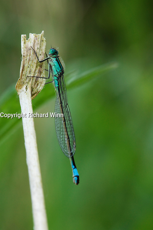 Female of the blue tailed damselfly (Ishnura elegans typica) resting on a dead stalk in late evening. The secondary genitalia present in the male is clearly absent.