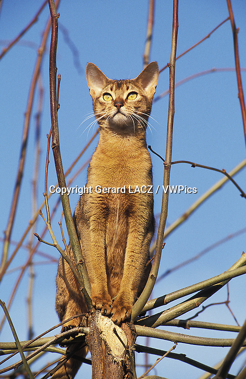 Abyssinian Domestic Cat, Adult standing on Branch