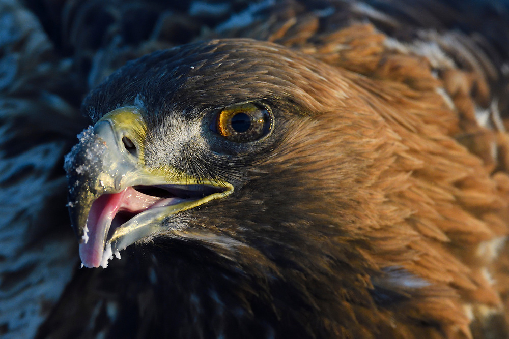 Portrait of a Golden Eagle bird, Aquila chrysaetos, adult male, eating in Kalvtrask, Vasterbotten, Sweden