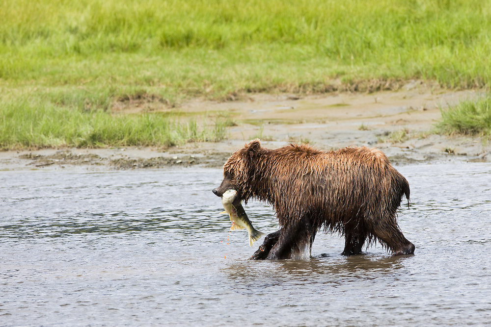 Brown bear in Horn Creek with female Chum salmon (Oncorhynchus keta) in jaws spilling eggs along a meadow on Glacier Spit in Chinitna Bay area of Lake Clark National Park in Southcentral Alaska. Summer. Afternoon.