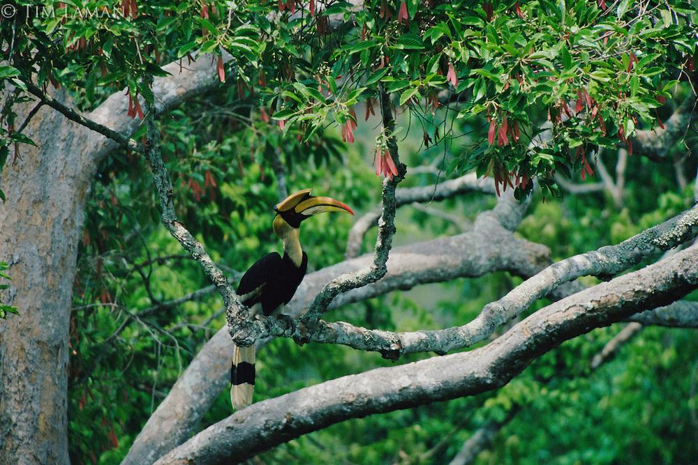 Great Hornbill (Buceros bicornis).Khao Yai National Park, Thailand