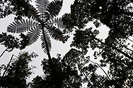 "Tree fern, Cyatheales sp. Montane rainforest, near FakFak, Mainland New Guinea, Western Papua, Indonesian controlled New Guinea, on the Science et Images ""Expedition Papua, in the footsteps of Wallace"", by Iris Foundation"