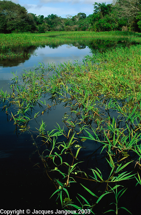 Floating grass in open channel in swamp forest mata de igapó in Mamiraua reserve in Amazon region Brazil