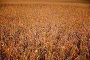 Corn crops on an Iowa farm.<br /> Photographed by editorial lifestyle Texas photographer Nathan Lindstrom