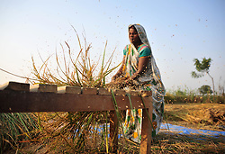 October 25, 2016 - Allahabad, Uttar Pradesh, India - Allahabad: A women farmer separates rice grains from the glumes, or husks using a traditional method at outskirts of Allahabad. Agriculture remains as important economic activity for the India, with wheat and rice being the main food crops. (Credit Image: © Prabhat Kumar Verma via ZUMA Wire)