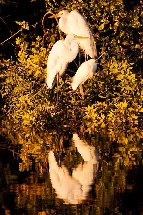 USA, Everglades National Park (FL)?.Great egrets (Ardea alba)