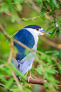 Yellow Crowned Night Heron perched in a Bald Cypress Tree.