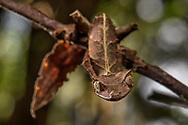 Gespenst-Plattschwanzgecko (Uroplatus phantasticus), Ranomafana, Madagaskar<br /> <br /> Baweng satanic leaf gecko (Uroplatus phantasticus), Ranomafana, Madagascar