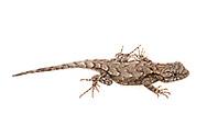 Eastern Fence Lizard (Sceloporus undulatus)<br /> United States: Alabama: Tuscaloosa Co.<br /> Tulip Tree Springs off Echola Rd.; Elrod<br /> 18-Nov-2017<br /> J.C. Abbott #3010