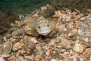 Male Banded Jawfish, Opistognathus macrognathus, digs and prepares his burrow prior to courting and mating.