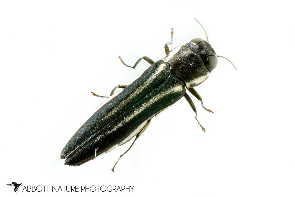 Twolined Chestnut Borer (Agrilus bilineatus)<br /> United States: Alabama: Tuscaloosa Co.<br /> Tulip Tree Springs off Echola Rd.; Elrod<br /> 27-Jun-2016<br /> J.C. Abbott #2839