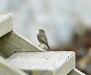 Black Redstart Phoenicurus ochruros (L 14cm) has benefited from urban sprawl and indeed often thrives in areas where industrial dereliction prevails. It is a bold bird that perches conspicuously, quivering striking red tail in an obvious manner. Adult males are particularly striking, with slate-grey body plumage darkest on the face and breast. By comparison, female and immature birds are rather drab, with mainly grey-brown body plumage. In a strange way, the Black Redstart's song sometimes match its surroundings and includes curious crackling, static-like phrases. Between 50 and 100 pairs attempt to nest here each year but the species is more numerous as a passage migrant and occasional winter visitor to south coasts.