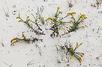 Seaside Goldenrod in the sands on Assateague Island National Seashore barrier island, Maryland, USA.