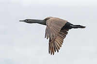 Endangered Bank Cormorant in flight, Bettys Bay Marine Protected Area, Western Cape, South Africa