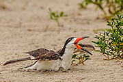 Black Skimmer (Rynchops niger) with beak open and wings outstretched, and a chick hidden underneath her