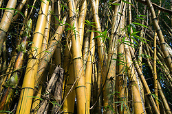 Bamboo at Garden of Eden arboretum in Kailua, Hi, Saturday, Jan. 20, 2018. (Photo by D. Ross Cameron)