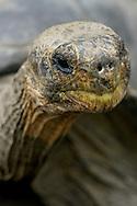 Alberto Carrera, Galápagos Giant Tortoise, Chelonoidis nigra, Galápagos National Park, UNESCO, World Heritage Site, Biosphere Reserve, Galápagos Islands, Ecuador, South America