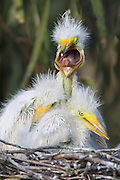 Great Egret <br /> Ardea alba<br /> Two-week-old chicks in nest<br /> Sonoma County, California
