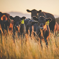 Group of black Angus cattle in field of tall grass as sunset looking directly at camera. Photo taken at Dal Porto Ranch in Oakley, California.
