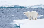 A male polar beer stands on the edge of sea ice, off the coast of Spitzbergen, Svalbard, Norway.