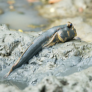 Mudskippers are fish of the subfamily Oxudercinae (tribe Periophthalmini), within the family Gobiidae (gobies). They are a completely amphibious fish that can use their pectoral fins to walk on land.