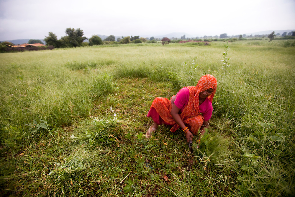 Narmada Mishra cuts grass for fodder from her farm, the farm has suffered a loss of Rs 40000 this year due to untimely rains. in Seelaum Chattarpur Madhya Pradesh, India, onTuesday September 8, 2009. Photographer: Prashanth Vishwanathan/Action Aid