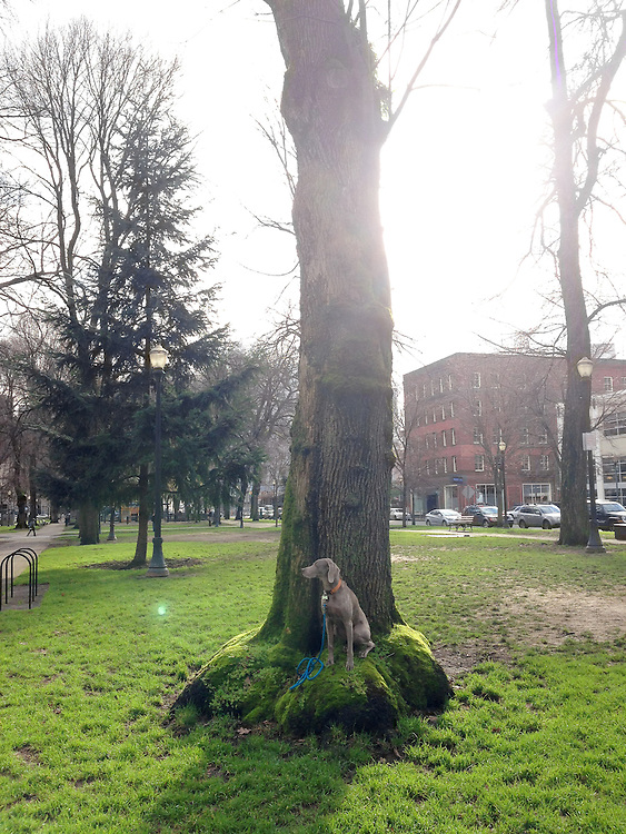 Sugar sitting on a tree's enlarged roots in Nort Park Blocks in Portland, OR