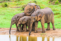 African Elephants drinking, Addo Elephant National Park, Eastern Cape, South Africa,