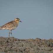The Pacific golden plover (Pluvialis fulva) is a medium-sized plover.