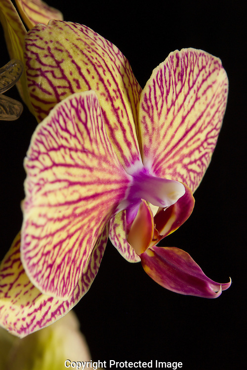 Moth Orchids pastel colors create artful splendor