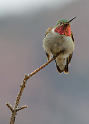 Broad Tailed Hummingbird photographed near Walker Ranch, Boulder, Colorado