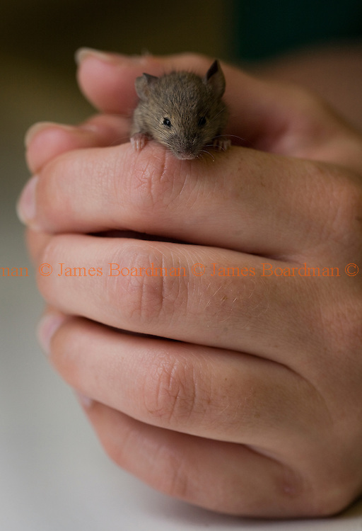 A tiny mouse in the hands of a veterary nurse. Picture by James Boardman