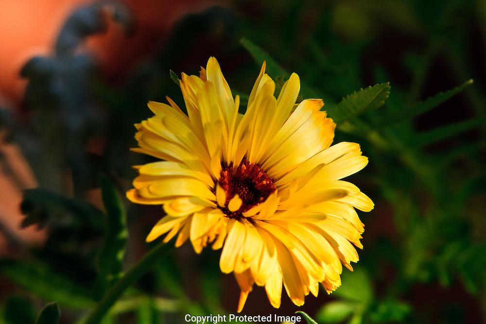 Bright Yellow garden flower