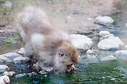 JAPAN, Jigokudani Yaen-koen, Nagano (Honshu).Snow monkey (Macaca fuscata) drinking
