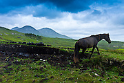 Connemara pony on hill slope with the Twelve Bens Mountain Range behind, Connemara, County Galway, Ireland