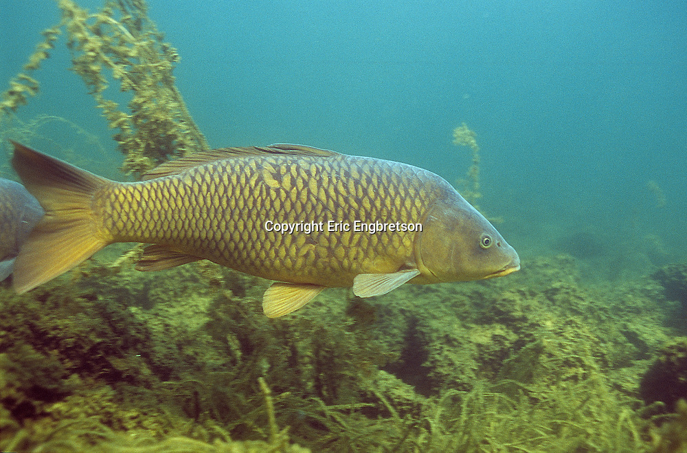 Common carp engbretson underwater photography for Carp fish pictures