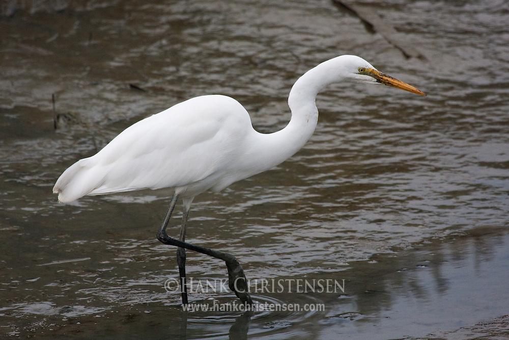 Great Egret with muddy beak walks through muddy water