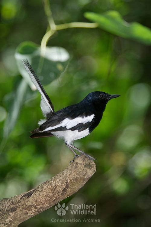 Magpie robin, Copsychus saularis