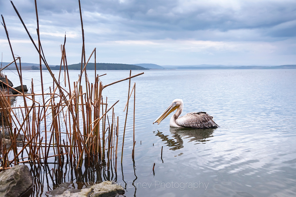 A lone,y pelican in Mandrensko lake