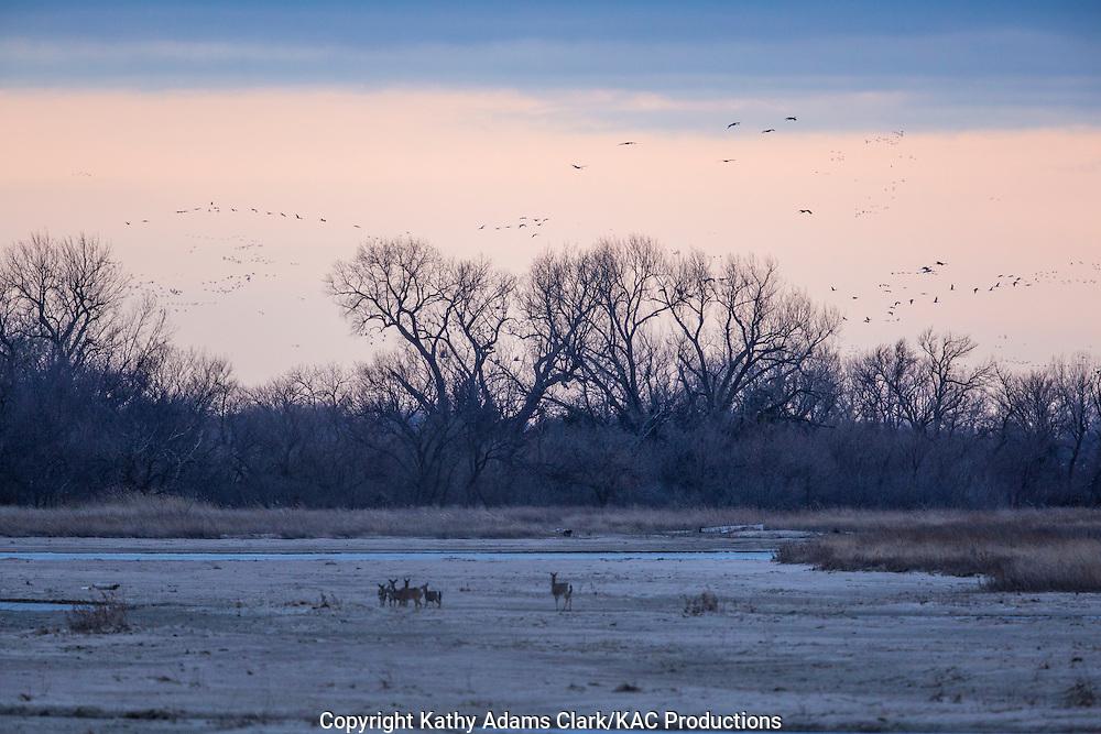 Sandhill crane, Grus canadensis, at dawn, white-tailed deer grazing in foreground, snow on ground, Platte River, spring migration, Grand Island, Nebraska.