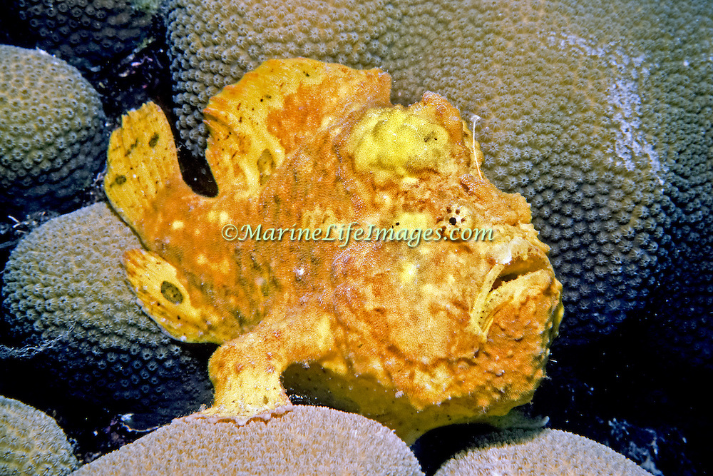 Longlure Frogfish inhabit coral reefs, often change color to blend with sponges in Tropical West Atlantic; picture taken Bahamas.
