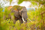 An adult African Elephant walking through bush from camera left seen through and framed by a gap in the leaves