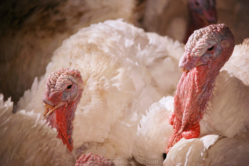 Poultry: Nicholas Turkey Breeding Farms, Sonoma, California.