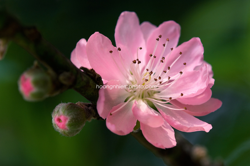 Vietnam Images-Flower-Nature-New year -Hoàng thế Nhiệm