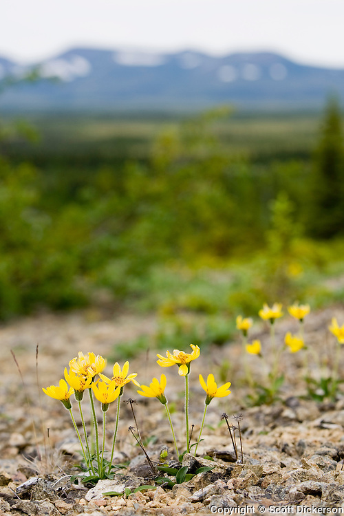 Yellow arnica flowers growing in a rocky opening near the Koktuli River, Bristol Bay, Alaska.